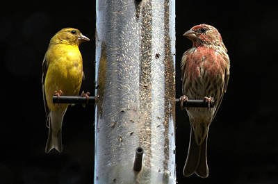 Poster featuring the photograph Gold And Purple Finch by Geraldine Alexander