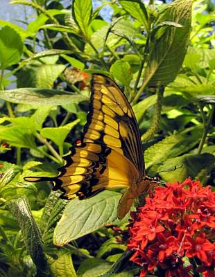 Gold Giant Swallowtail Poster