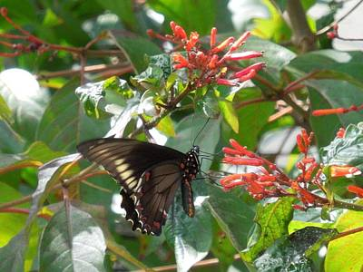 Poster featuring the photograph Gold Rim Swallowtail by Ron Davidson