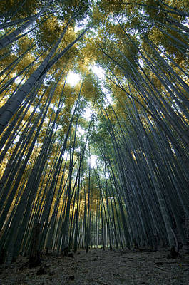 Golden Bamboo Forest Poster by Aaron Bedell