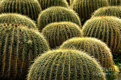 Golden Barrel Cactus Poster by Howard Koby