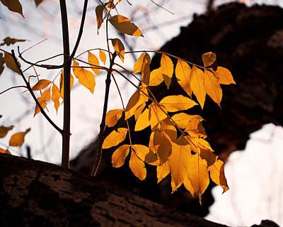 Golden Beech Leaves Poster