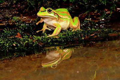 Golden Bell Treefrog, Litoria Aurea Poster by David Northcott