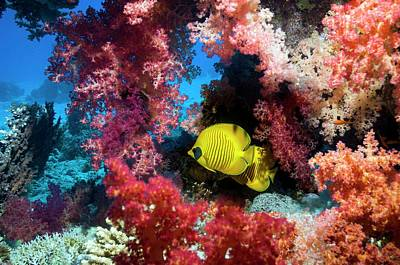 Golden Butterflyfish And Soft Coral Poster by Georgette Douwma