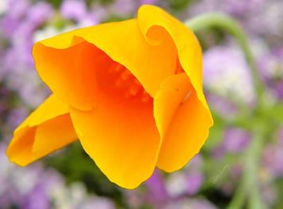 Golden California Poppy Poster