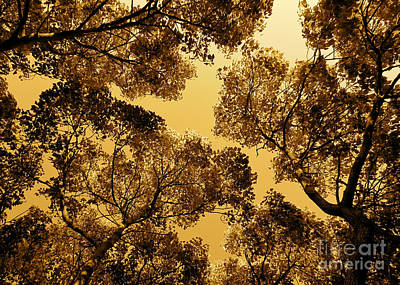 Golden Camphor Poster by CML Brown