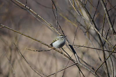 Poster featuring the photograph Golden-crowned Kinglet by James Petersen