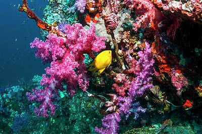 Golden Damselfish And Soft Corals Poster