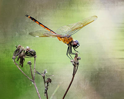 Poster featuring the photograph Golden Dragonfly II by Dawn Currie