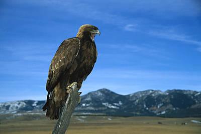 Golden Eagle Poster by Konrad Wothe