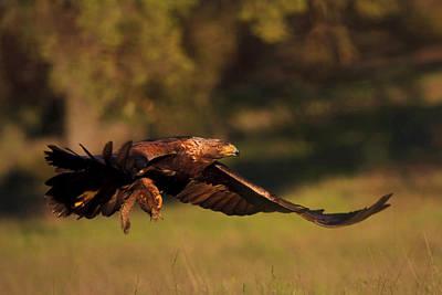 Golden Eagle On The Hunt Poster
