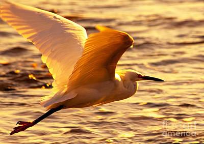 Golden Egret Bird Nature Fine Photography Yellow Orange Print  Poster