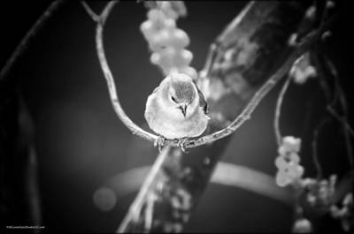 Golden Finch Black And White Poster
