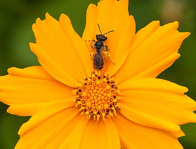 Golden Flower With Bee Poster by Lara Ellis