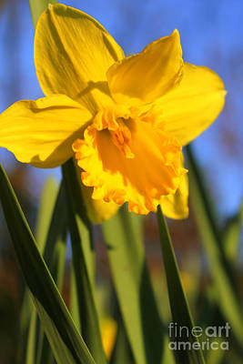 Golden Glory Daffodil Poster by Kathy  White