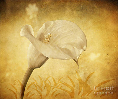 Golden Glow Cala Lily Poster
