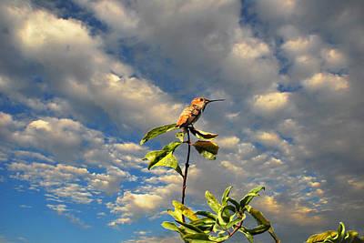 Golden Hour Hummingbird Poster