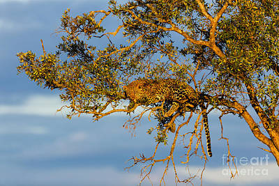 Golden Leopard In The Tree Poster by Maggy Meyer