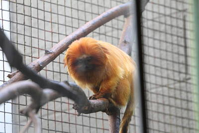 Golden Lion Tamarin - National Zoo - 01131 Poster by DC Photographer