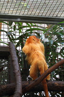 Golden Lion Tamarin - National Zoo - 01139 Poster by DC Photographer