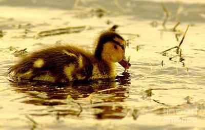 Golden Moment - Duck Poster by Robert Frederick