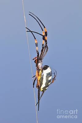 Golden Orb Web Weaver Spider And Youngster Poster by Hermanus A Alberts