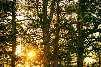 Golden Pine Tree Forest Poster