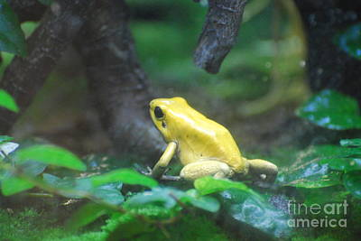 Golden Poison Frog Poster by DejaVu Designs