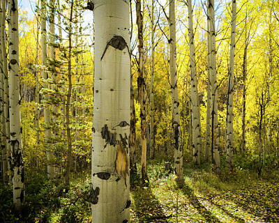 Golden Quaking Aspen In Full Fall Poster
