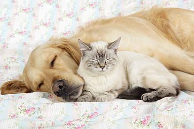 Golden Retriever And Cat Poster by John Daniels