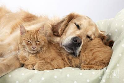 Golden Retriever And Orange Cat Poster by John Daniels