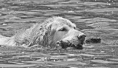 Golden Retriever Fetch The Stick Black And White Poster by Jennie Marie Schell
