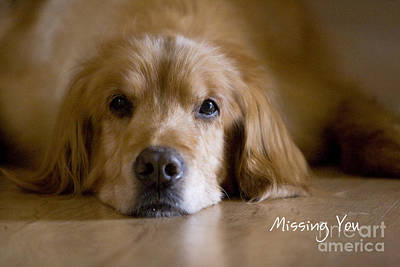Golden Retriever Missing You Poster by James BO  Insogna