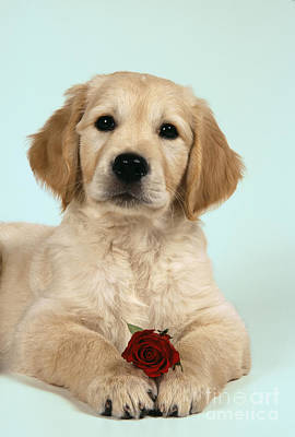 Golden Retriever Puppy With Rose Poster by John Daniels