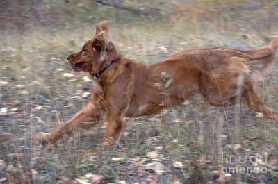 Golden Retriever Running Poster by William H. Mullins