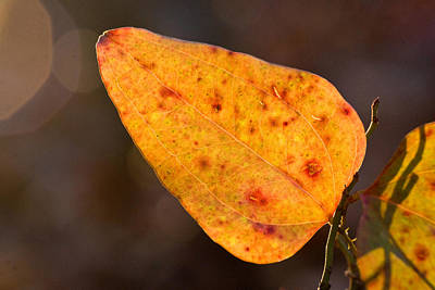 Golden Sawbriar Leaf With Red Spots 1 Poster by Douglas Barnett