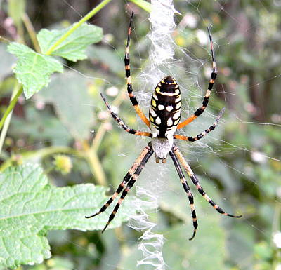 Poster featuring the photograph Golden Silk Spider by Jodi Terracina