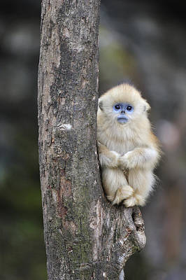 Golden Snub-nosed Monkey Young China Poster by Thomas Marent