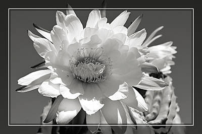 Golden Torch Cactus 4 Poster by Cindy Nunn