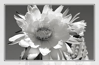 Golden Torch Cactus 5 Poster by Cindy Nunn