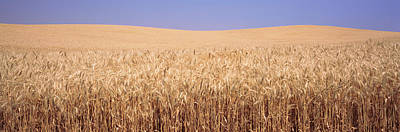 Golden Wheat In A Field, Palouse Poster