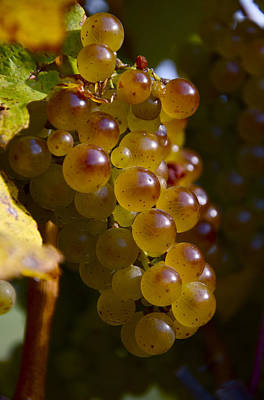 Golden Wine Grapes Poster