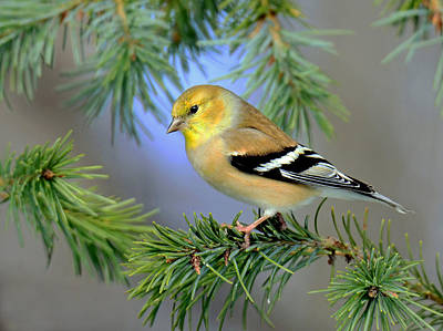 Goldfinch In A Fir Tree Poster
