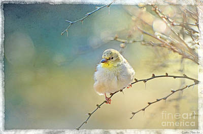 Goldfinch In Golden Light Poster by Debbie Portwood
