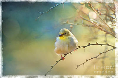 Goldfinch In Morning Light - Digital Paint I  Poster by Debbie Portwood