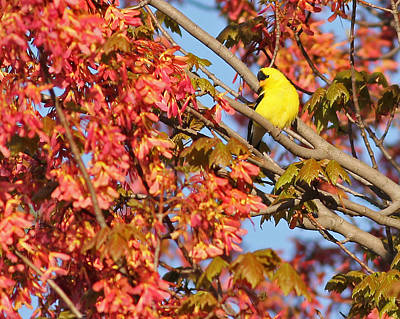 Goldfinch In Spring Maple Tree Poster by Brian Magnier