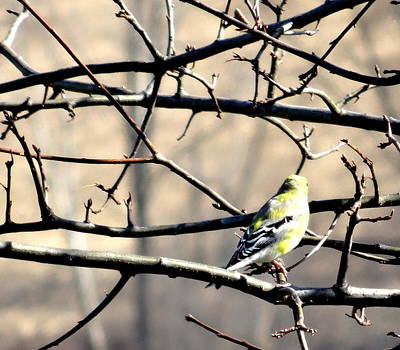 Goldfinch On Budding Branch Poster