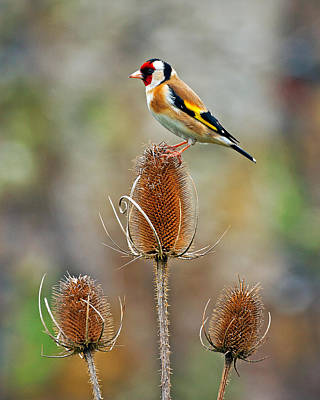 Goldfinch On Teasel Head. Poster
