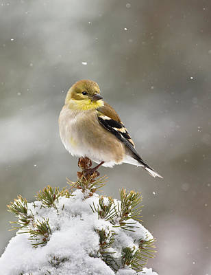 Goldfinch In The Snow Poster