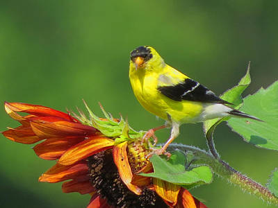 Goldfinch Pose Poster by Dianne Cowen